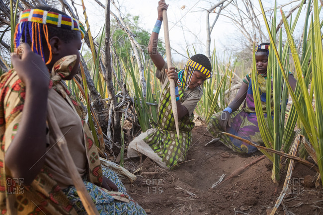 Tanzania, Africa - October 15, 2014: Hadzabe Tribe, group of young woman searching for local food