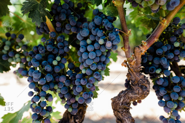 Grapes growing on a vine in Napa Valley, California