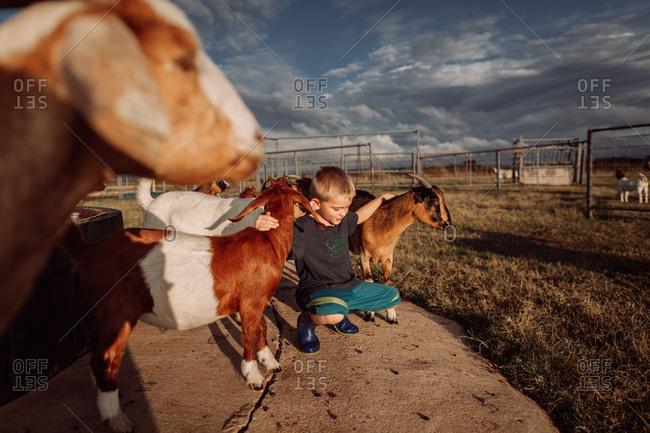 Little boy petting goats