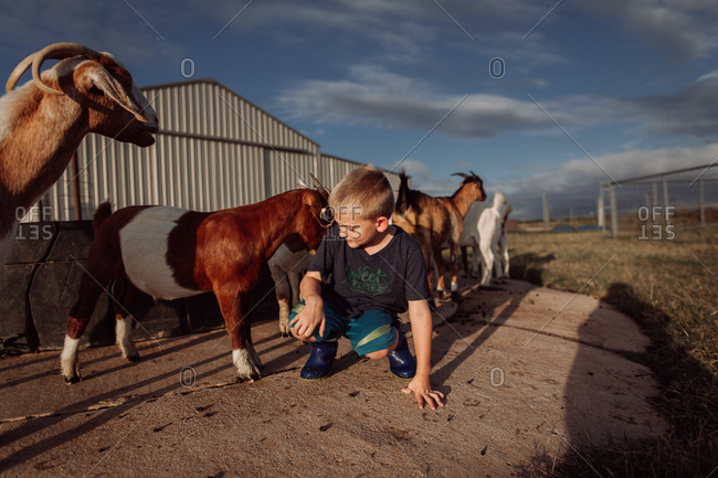 Little boy petting goats