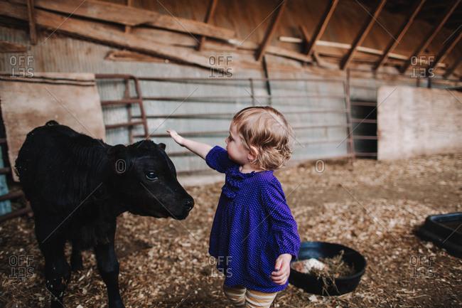 Little girl petting a baby calf