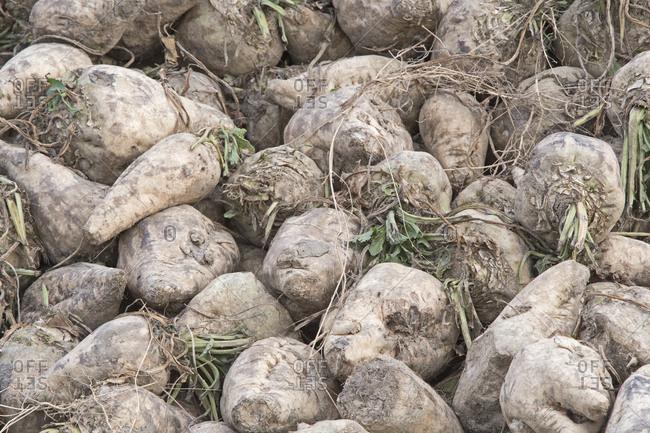 Harvested sugar beets