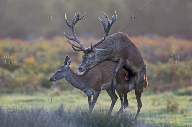 Red doe and stag mating with hind