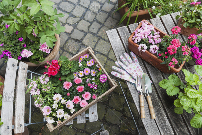 Gardening- planting of summer flowers- rosy and pink color selection- wooden box