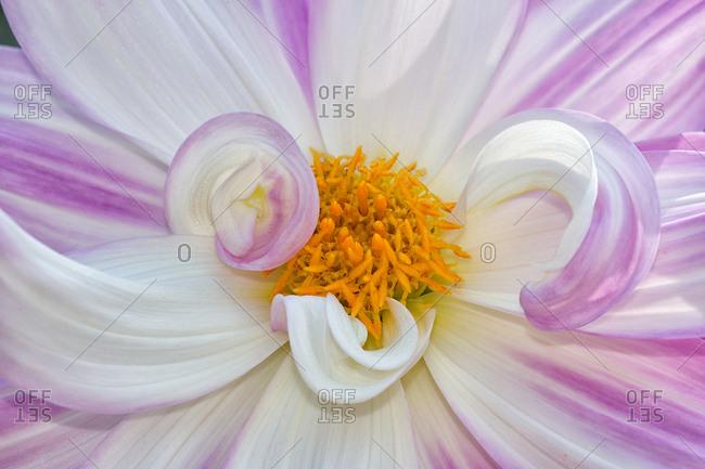 Close up of a dahlia flower