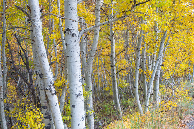 Aspen trees in fall colors in the Eastern Sierra