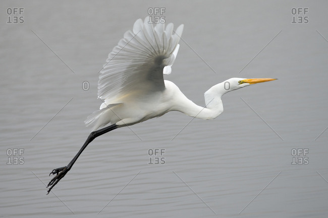 Great Egret flying over water on a foggy day
