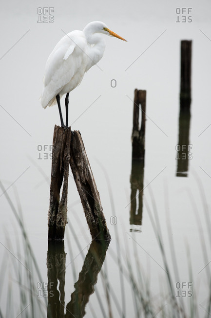 Great Egret perched on wood in water