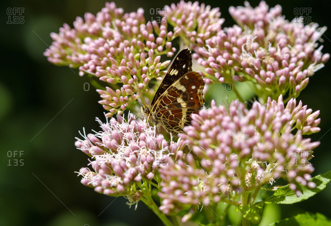 Germany- Bavaria- map butterfly- Araschnia levana- on Hemp Agrimony- Eupatorium cannabinum