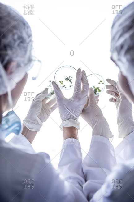 Scientists in lab examining germs in petri dishes