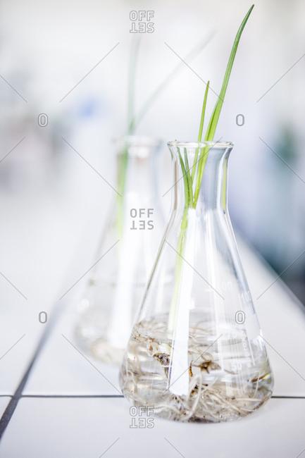 Plant seedlings in beakers in lab