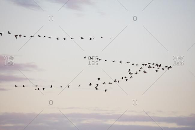 Germany- Fischland-Darss-Zingst- Western Pomerania Lagoon Area National Park- Common cranes- Grus grus