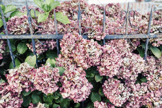 Pink hydrangea bush between a rusty iron fence
