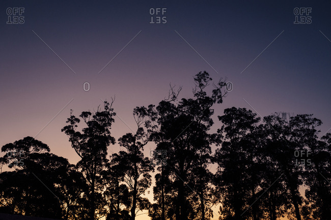Silhouette of eucalyptus trees at dusk on clear day