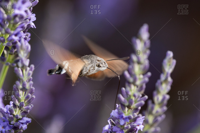 Hummingbird Hawk Moth (Macroglossum stellatarum) feeding on Lavender (Lavandula angustifolia), Dordogne, Aquitaine, France, Europe