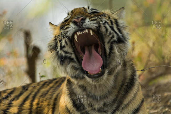 Head shot of a yawning juvenile wild Bengal Tiger (Panthera tigris tigris) in the forest, Ranthambhore National Park, Rajasthan, India, Asia