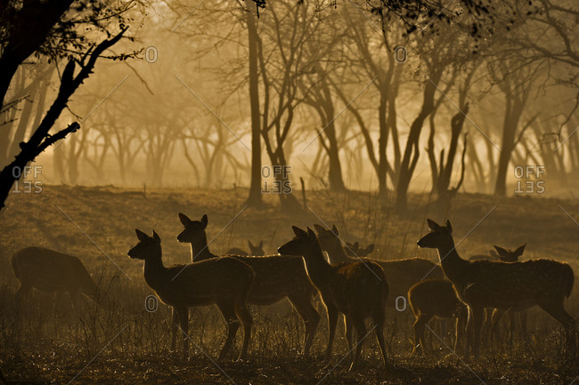 Herd of female Spotted Deer or Axis Deer (Axis axis), backlit, standing alert in the woodlands at dawn, Ranthambhore National Park, Rajasthan, India, Asia