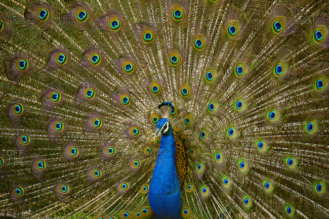 Indian Peafowl or Blue Peafowl (Pavo cristatus), male, mating display or dance, Ranthambhore National Park, Rajasthan, India, Asia