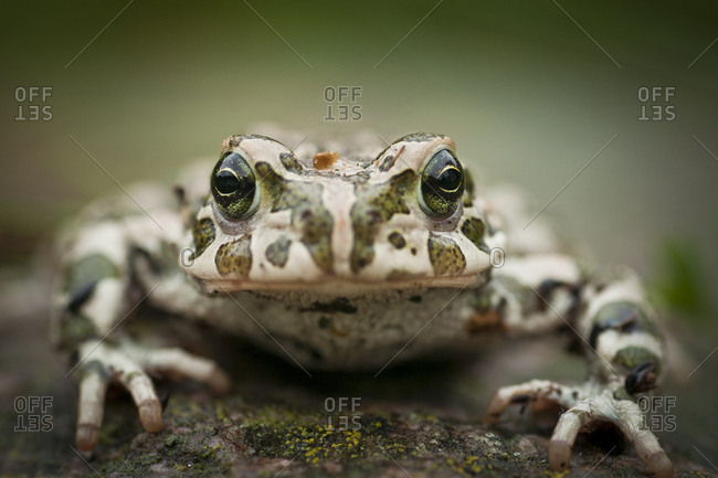European Green Toad (Bufo viridis), Rerik, Rerik, Mecklenburg-Western Pomerania, Germany, Europe