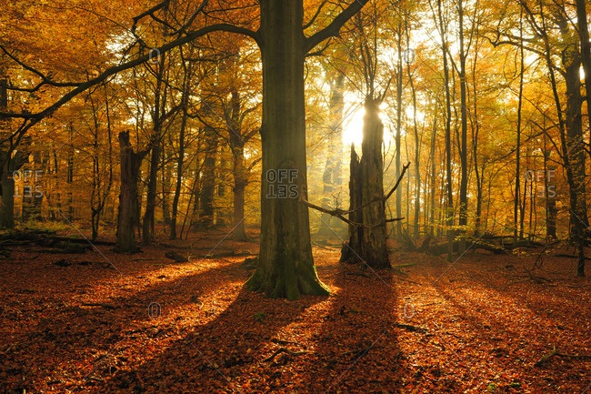 Sun shining through old beech (Fagus sp.) trees in former wood pasture, autumn, backlight, Reinhardswald, Sababurg, Hesse, Germany, Europe