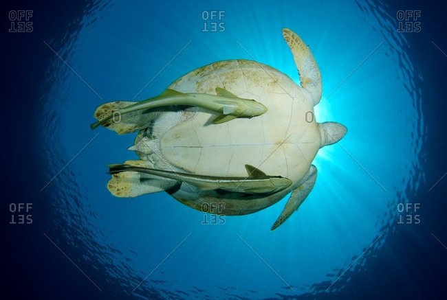 Green Sea Turtle (Chelonia mydas) and Suckerfish floating in blue water, Red Sea, Marsa Alam, Abu Dabab, Egypt, Africa