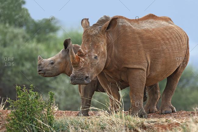 White Rhinoceros (Ceratotherium simum), calf and mother, South Africa, Africa