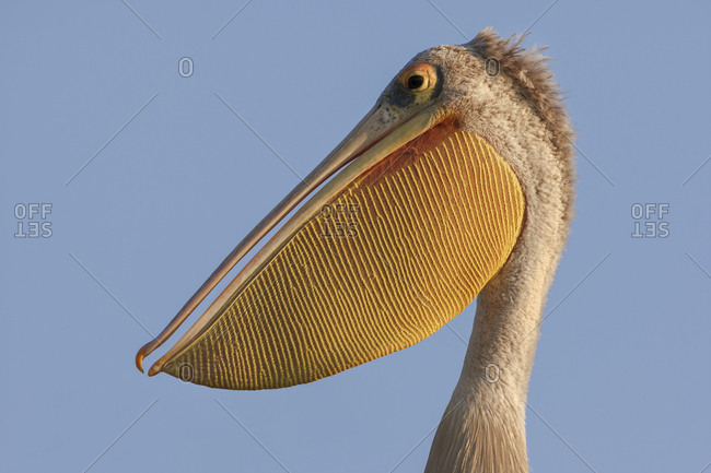Pink-backed Pelican (Pelecanus rufescens), portrait, Okavango Delta, Botswana, Africa