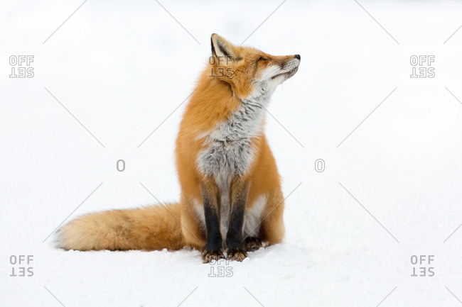 Red Fox (Vulpes vulpes) looking up, sitting in snow, Algonquin Provincial Park, Ontario, Canada, North America