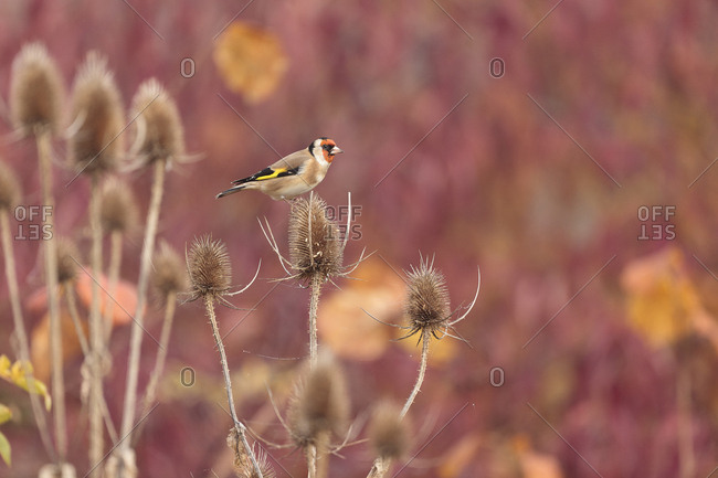 Goldfinch (Carduelis carduelis), Limburg an der Lahn, Hesse, Germany, Europe