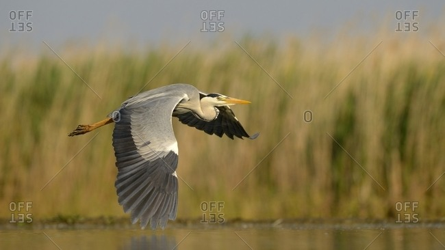 Grey Heron (Ardea cinerea), adult bird in flight, Kiskunsag National Park, Southeastern Hungary, Hungary, Europe