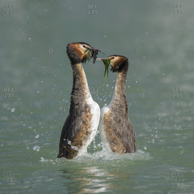 Great crested grebe (Podiceps cristatus), breeding pair, courtship display, presenting each other with nesting material, Lake Constance, Baden Wurttemberg, Germany, Europe