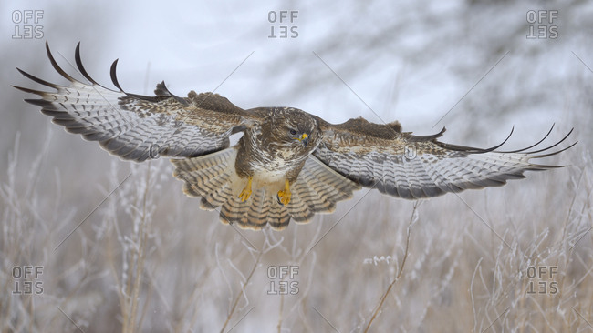 Common buzzard (Buteo buteo) flying, biosphere area, Swabian Jura, Baden-Wurttemberg, Germany, Europe