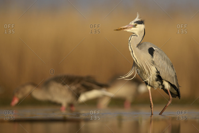 Grey heron (Ardea cinerea), adult walking, morning light, greylag geese (Anser anser) behind, Kiskunsag National Park, Hungary, Europe