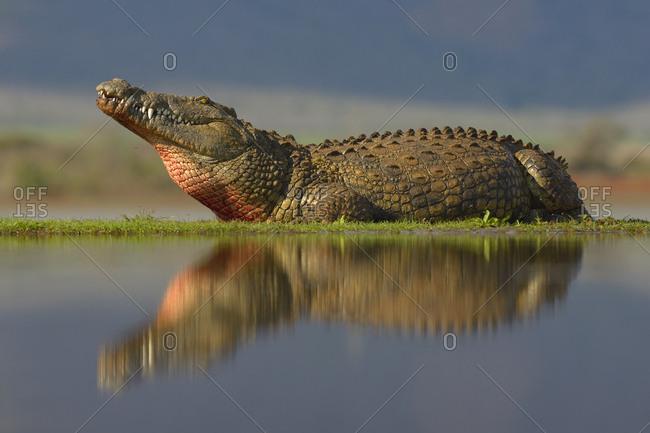 Nile crocodile (Crocodylus niloticus) resting, reflection in water, Zimanga Game Reserve, KwaZulu-Natal, South Africa, Africa