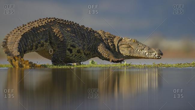 Nile crocodile (Crocodylus niloticus), walking across grassy island on lake, Zimanga Game Reserve, KwaZulu-Natal, South Africa, Africa