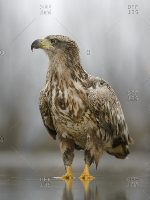 White-tailed eagle (Haliaeetus albicilla) standing in shallow water of fish pond, Kiskunsag National Park, Hungary, Europe