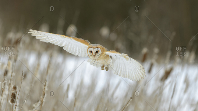 Barn Owl (Tyto alba) in flight, Moravia, Czech Republic, Europe