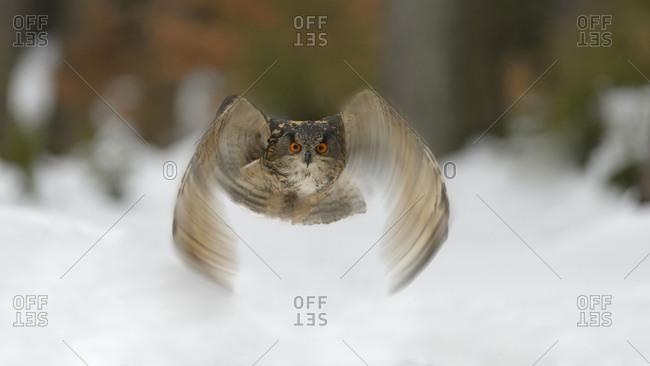 Eurasian eagle-owl (Bubo bubo) flying over snow, Moravia, Czech Republic, Europe