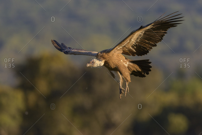 Griffon vulture (Gyps fulvus), juvenile, in flight, Extremadura, Spain, Europe
