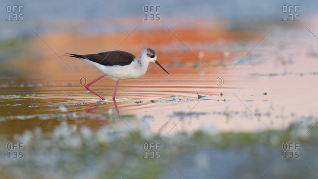 Black-winged Stilt (Himantopus himantopus), walking through shallow water, evening light, Extremadura, Spain, Europe