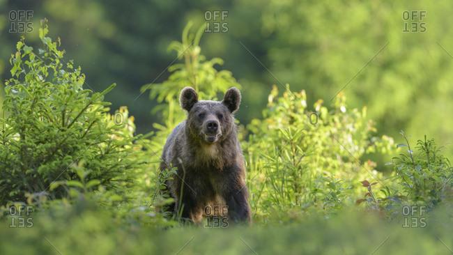 Brown bear (Ursus arctos), running through a young spruce culture, Mala Fatra, Little Fatra, Slovakia, Europe