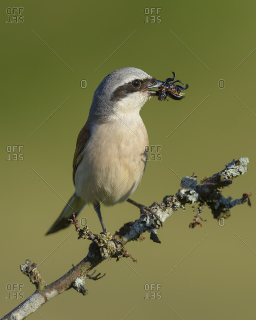 Red-backed shrike (Lanius collurio), male on branch with prey, insect, biosphere field Swabian Alb, Baden-Wurttemberg, Germany, Europe