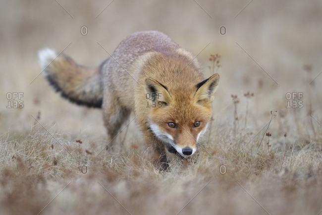 Red fox (Vulpes vulpes), runs in a meadow, Moravia, Czech Republic, Europe