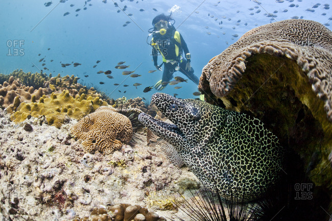 November 17, 2012: Laced Moray (Gymnothorax favagineus) in front of a scuba diver, Gulf of Oman, Oman, Asia