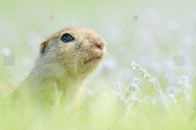 European ground squirrel (Spermophilus citellus), portrait in meadow, National Park Lake Neusiedl, Seewinkel, Burgenland, Austria, Europe