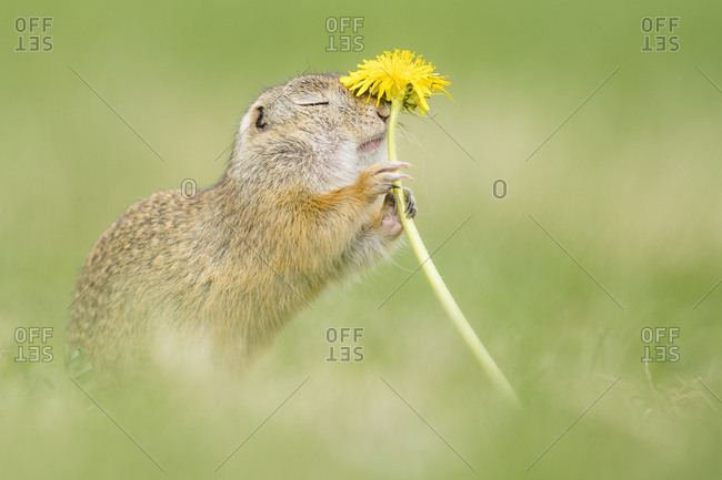 European ground squirrel (Spermophilus citellus) sniffs at Lowenzahn (Taraxacum), National Park Neusiedler See, Seewinkel, Burgenland, Austria, Europe