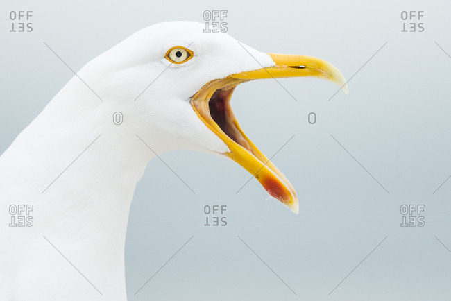 Great Gull (Larus arGhentatus), calling, animal portrait, Helgoland-Dune, Heligoland, Germany, Europe