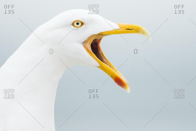 Great Gull (Larus arGhentatus), calling, animal portrait, Helgoland-Dune, Heligoland, Germany, Europe