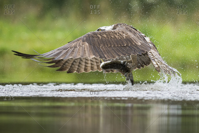 Fish eagle (Pandion haliaetus) while hunting on the water, captured a rainbow trout (Oncorhynchus mykiss), Highlands, Scotland, United Kingdom, Europe