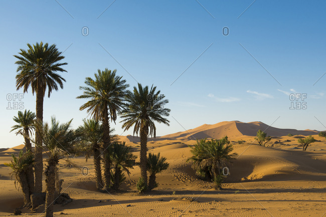 Dunes and palm trees in morning light, Merzouga, Meknes-Tafilalet Region, Morocco, Africa